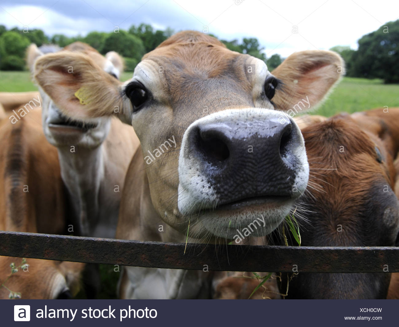 A group of jersey cows in a field - Stock Image