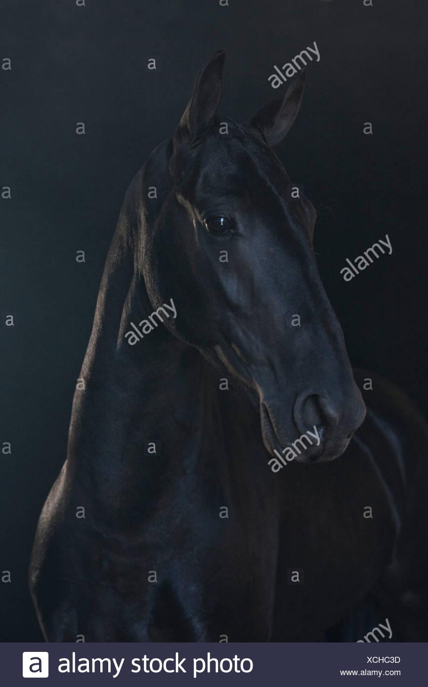 Black horse in foggy landscape - Stock Image