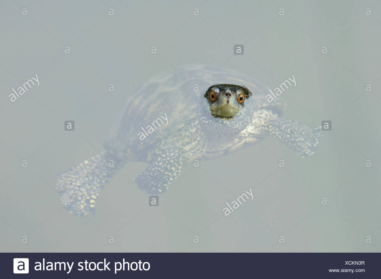 Portrait of Caspian / Stripe necked terrapin (Mauremys caspica) swimming with head above water, Lesbos, Greece - Stock Image