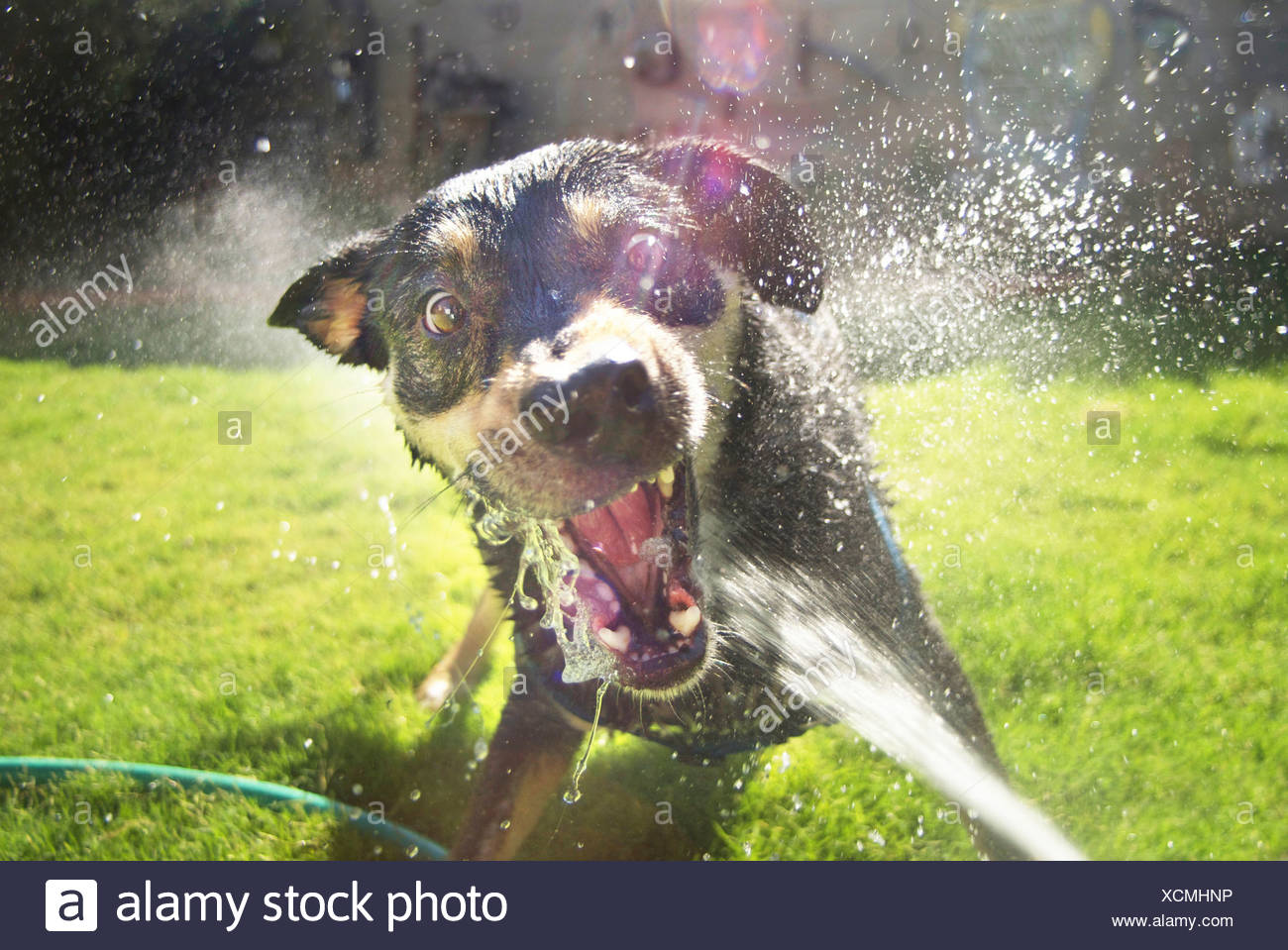Dog attacking water hose in backyard fun vicious an wide eyed bearing teeth with spray flying everywhere albuquerque new mexico - Stock Image