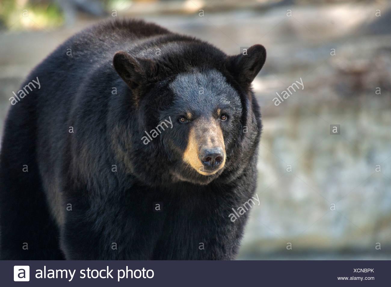black bear, ursus americanus, bear, animal, USA, United States, America, - Stock Image