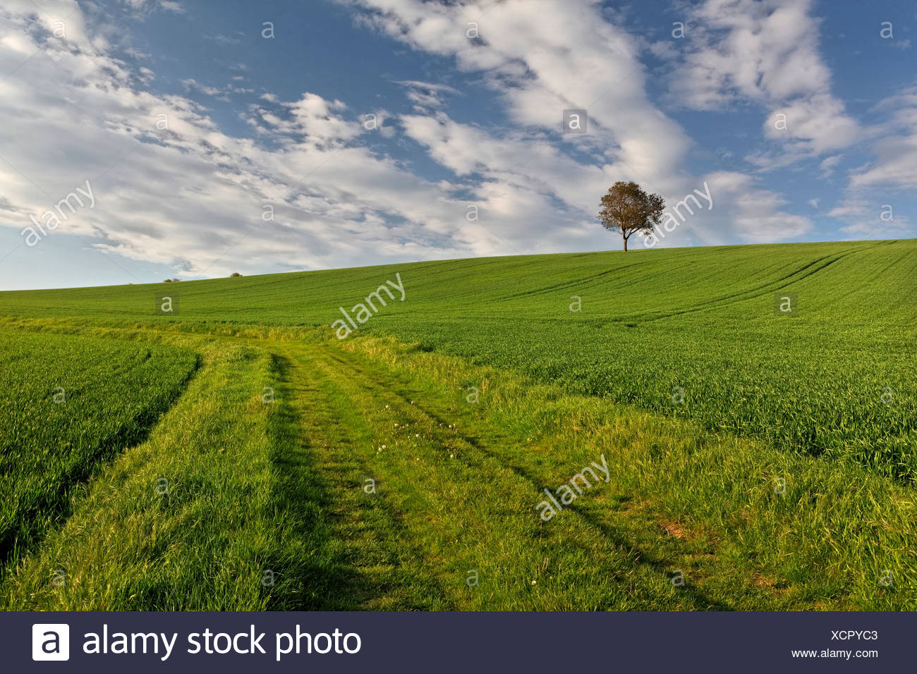 Isolate tree, green field, agricultural landscape, Puy de Dome, Auvergne, France, Europe - Stock Image