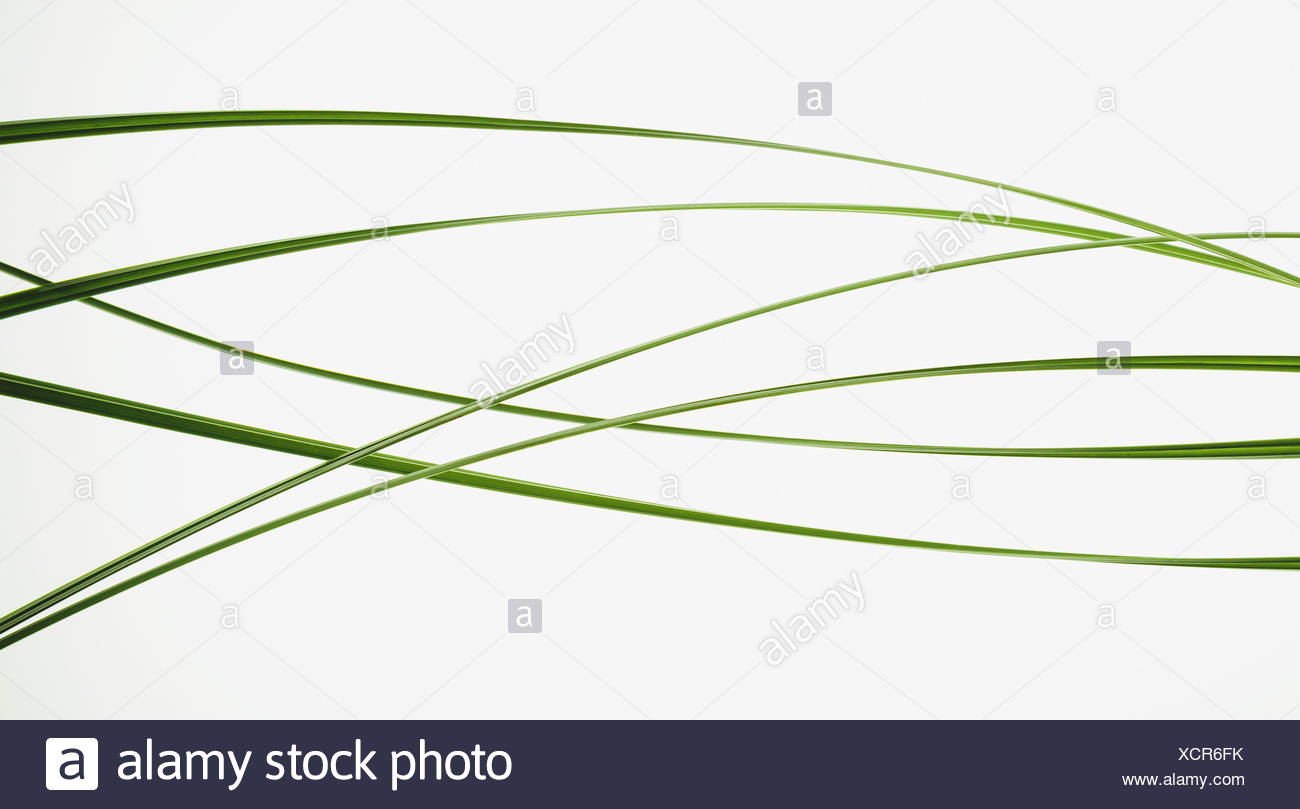 Close up of ornamental grass clippings on white background - Stock Image