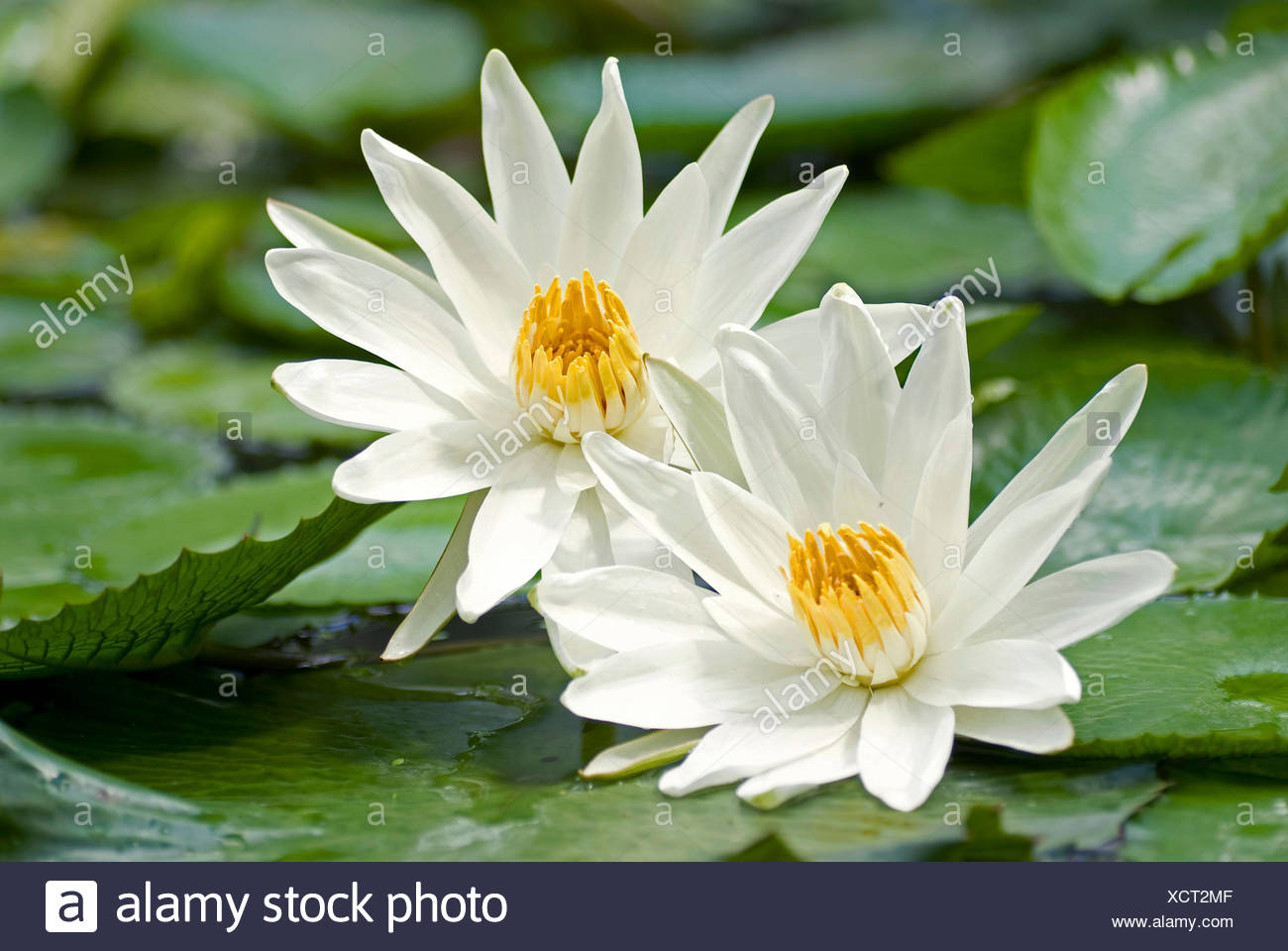 Egyptian Water Lily White Egyptian Lotus Nymphaea Lotus Two