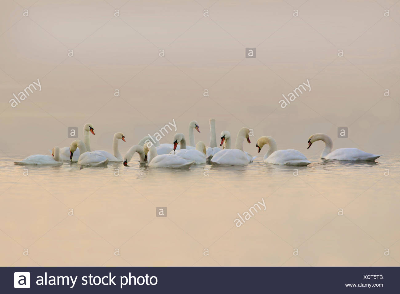 mute swan (Cygnus olor), group on a lake in the evening light, Germany - Stock Image