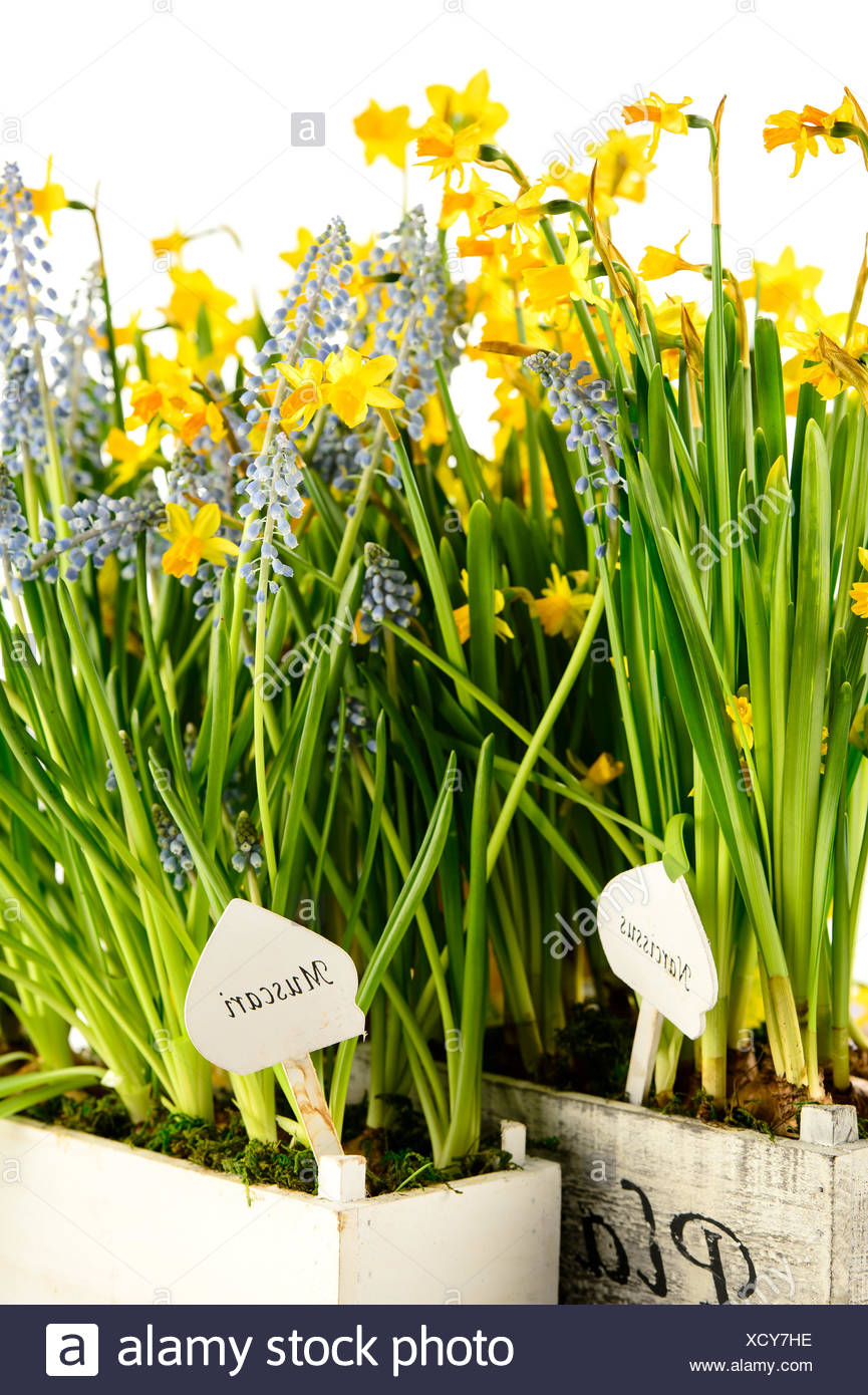 Grape Hyacinth And Narcissus Spring Potted Flowers Stock Photo