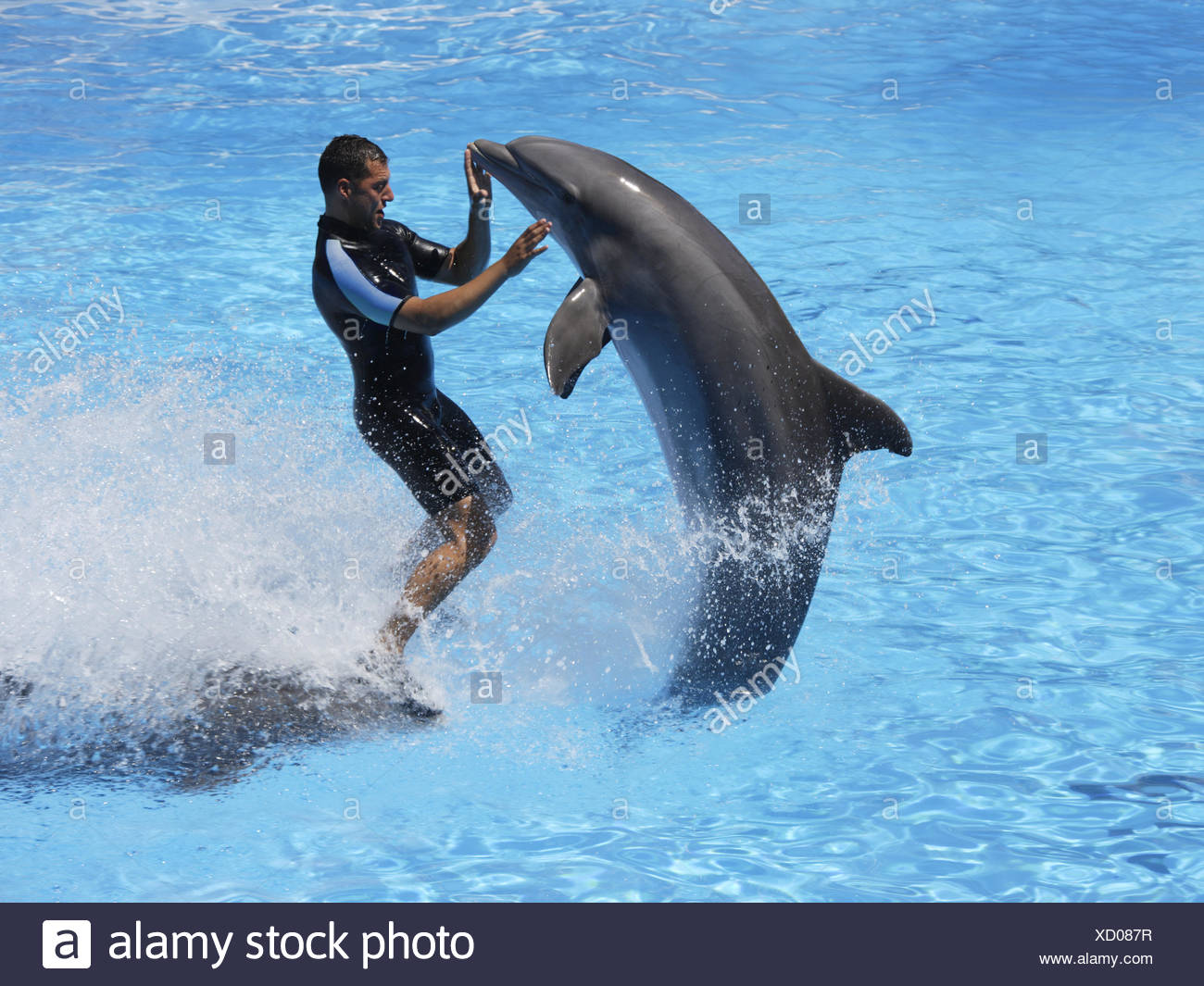 Bottlenose dolphins and trainer, Loro Parque, Tenerife, Canary Islands, Spain - Stock Image