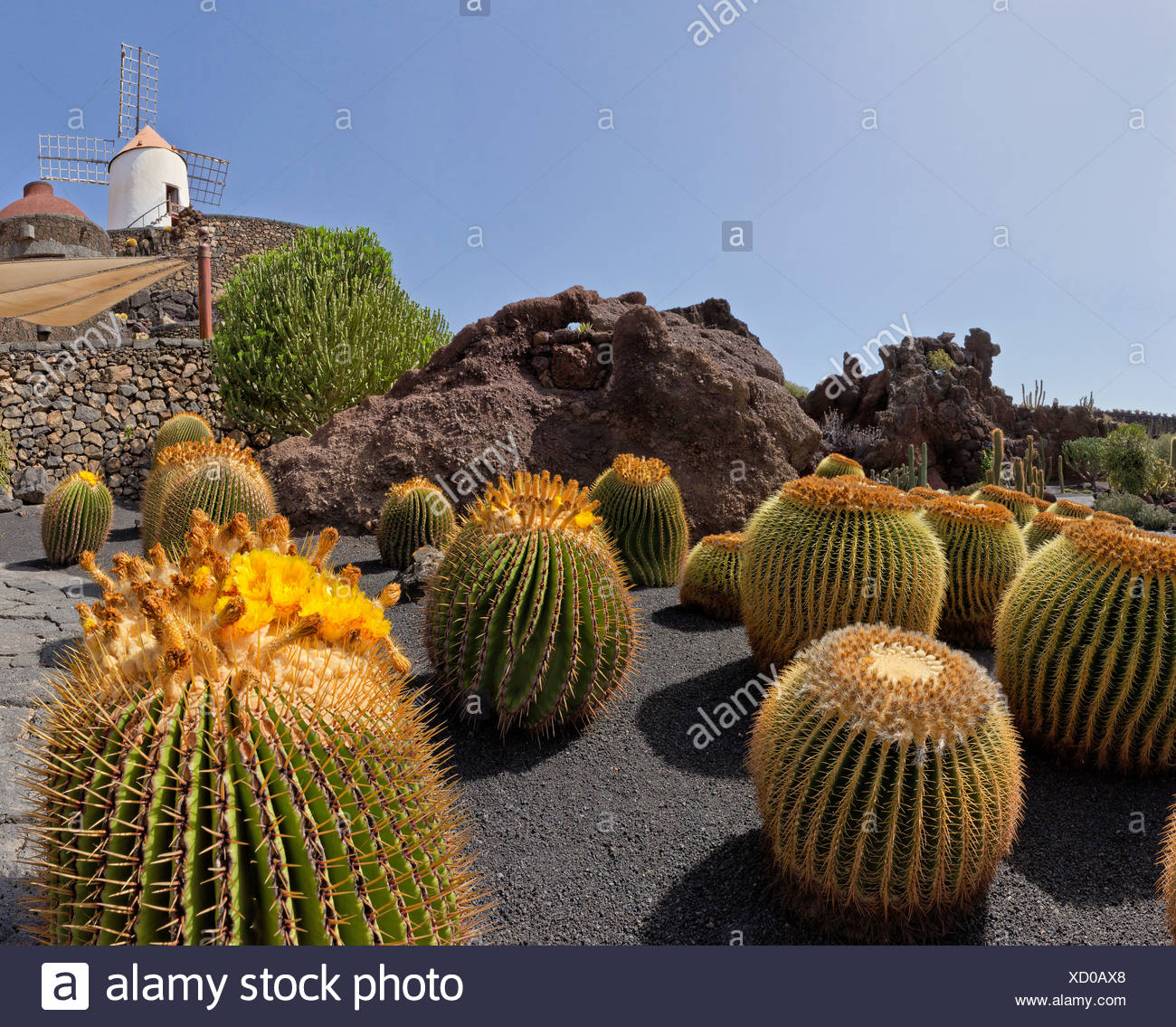 Spain, Lanzarote, Guatiza, Jardin de Cactus, cactus, garden, windmill, flowers, summer, Canary Islands, - Stock Image