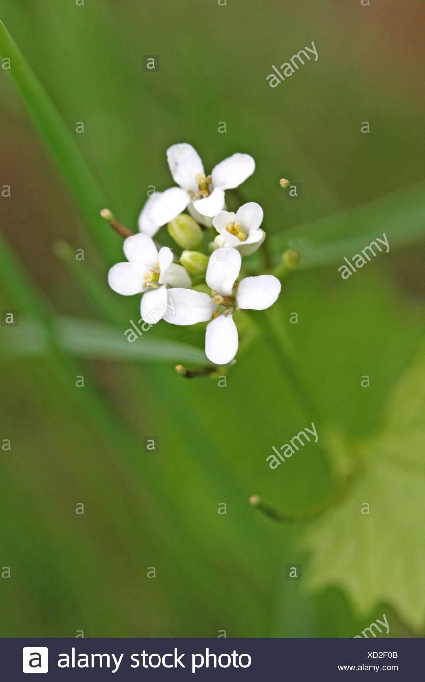 White Flowers Homewood Image Collections Fresh Lotus Flowers