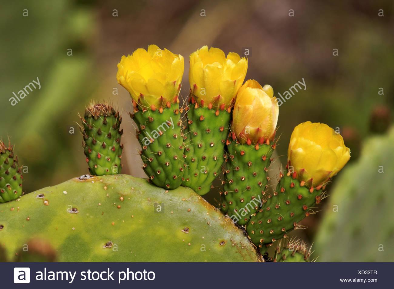 Yellow flowering cactus stock photos yellow flowering cactus stock indian fig cactus pear opuntia ficus indica opuntia ficus barbarica mightylinksfo Images