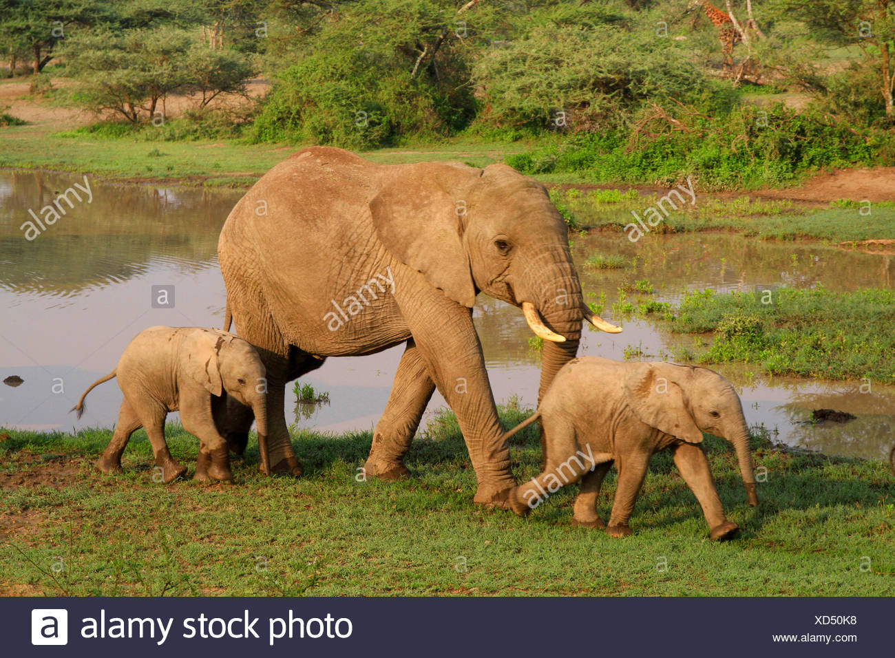 African elephant (Loxodonta africana), cow elephant with two calves at the waterhole, Tanzania, Serengeti National Park - Stock Image