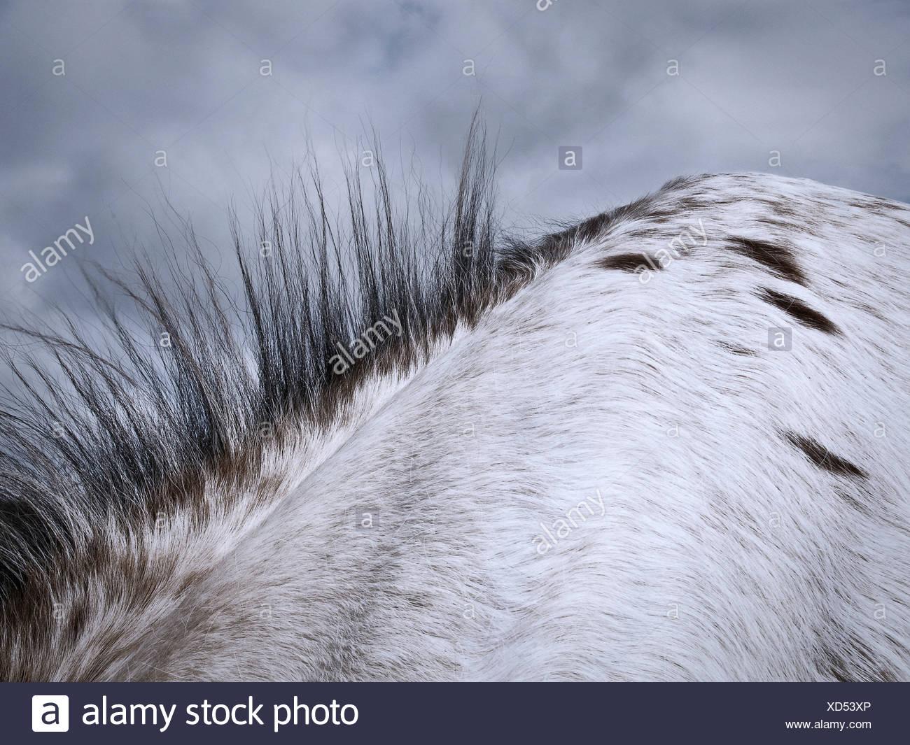 Close up of horse's mane - Stock Image