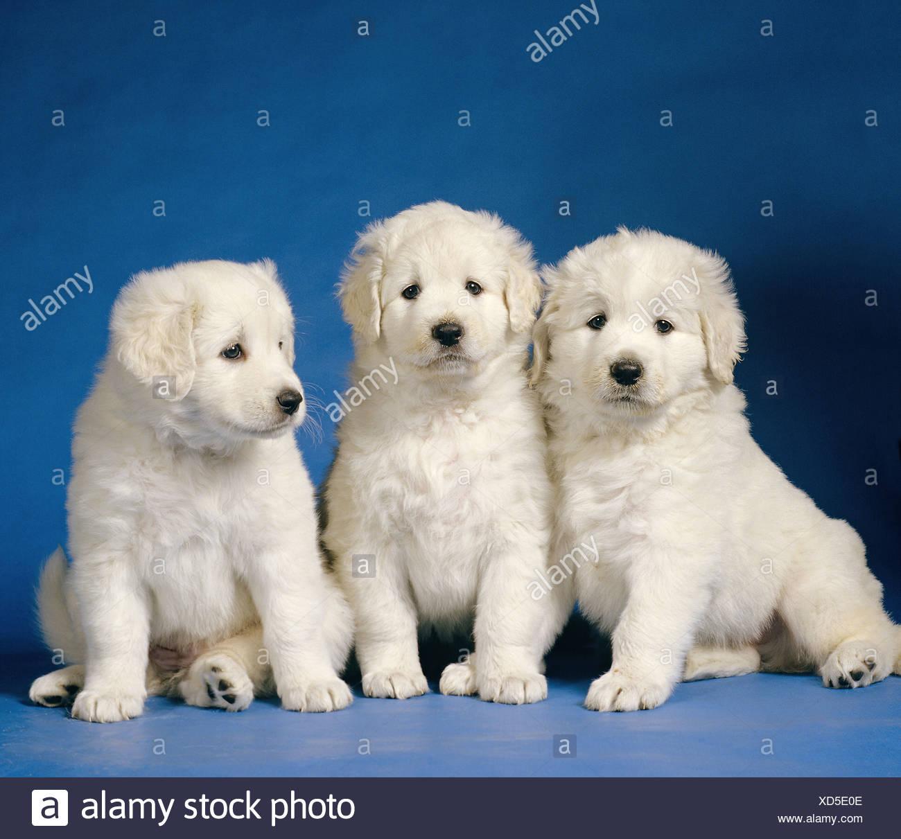 Three Kuvasz Puppies Stock Photo 283477166 Alamy