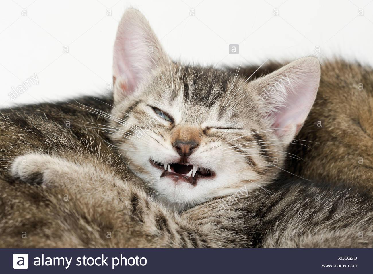 Domestic cat, kitten grimacing, portrait, close-up - Stock Image