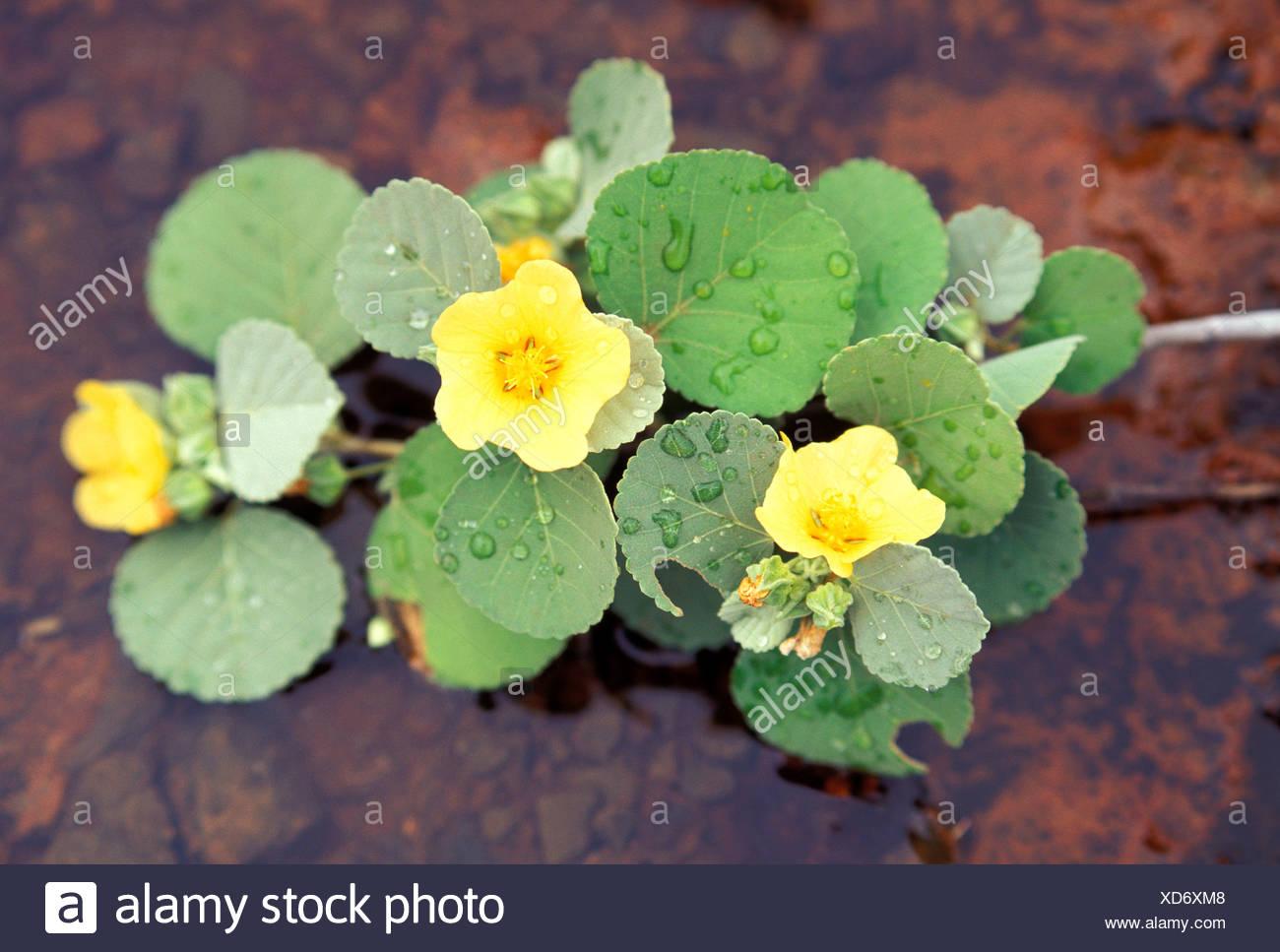 Ilima sida fallax is a native low growing shrub the flowers are ilima sida fallax is a native low growing shrub the flowers are often used in lei making kahoolawe izmirmasajfo