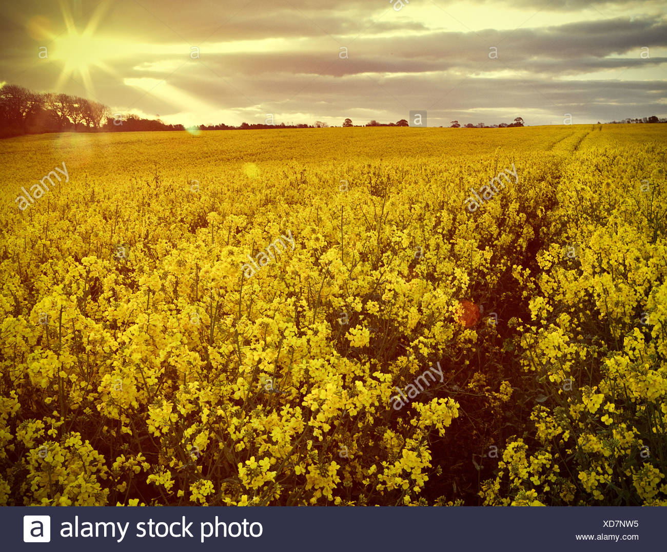 Yellow flowers in field - Stock Image