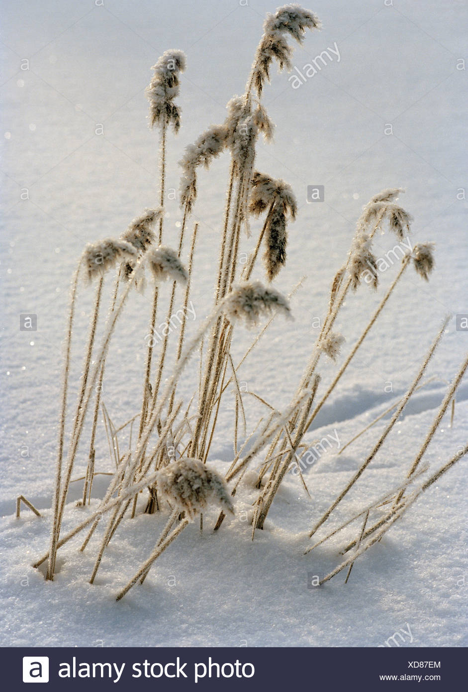 Reeds in the snow. - Stock Image