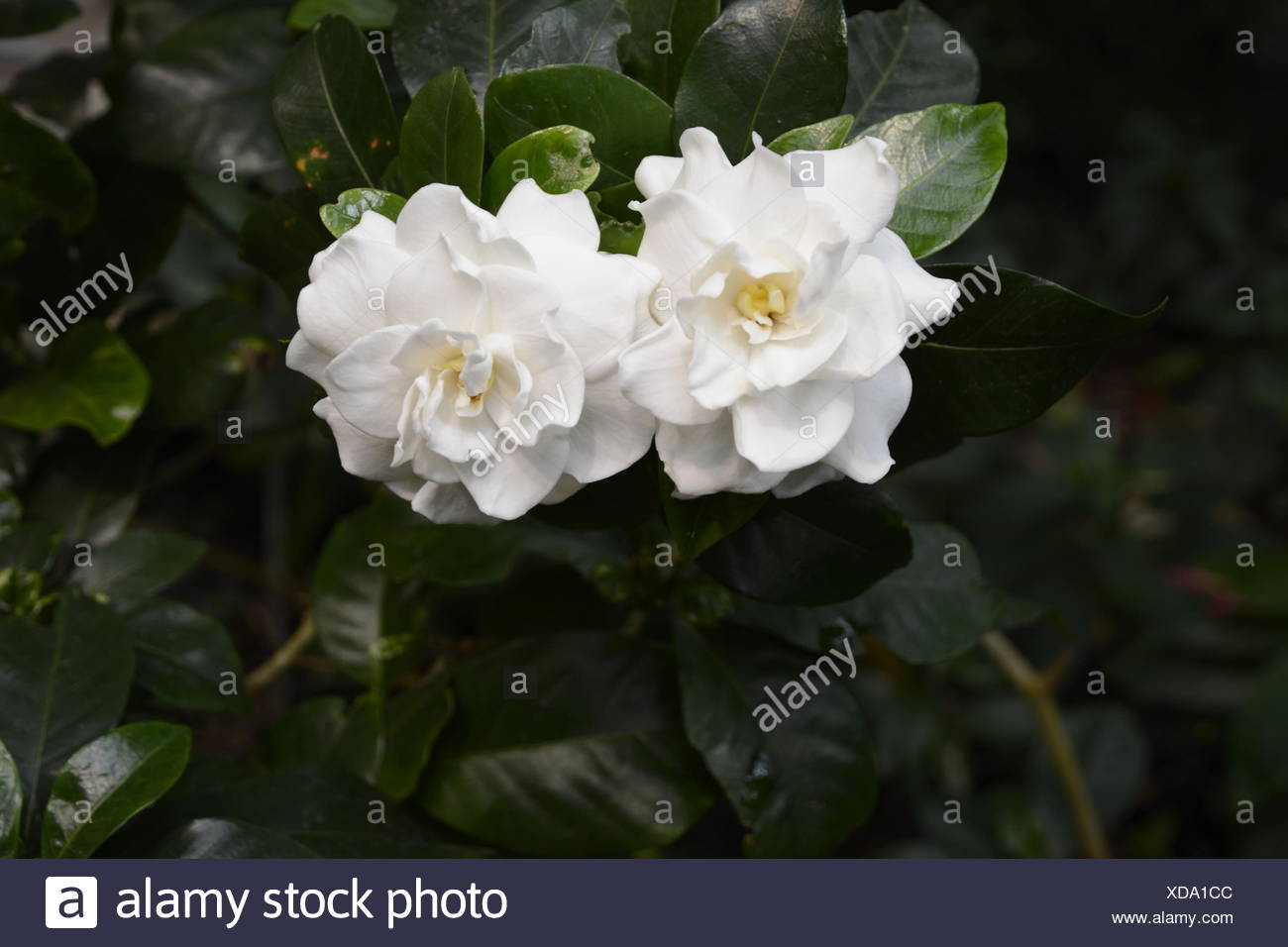 White Gardenia Flower Stock Photo 283577068 Alamy