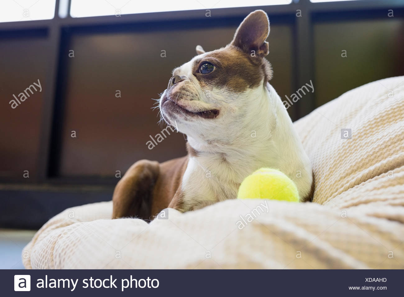 Boston Terrier with tennis ball looking away - Stock Image