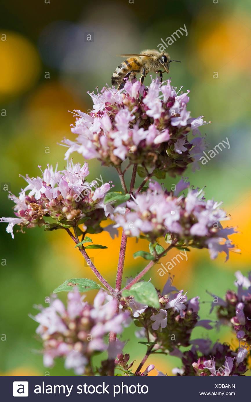 wild origanum, wild marjoram (Origanum vulgare), inflorescence with bee, Germany - Stock Image