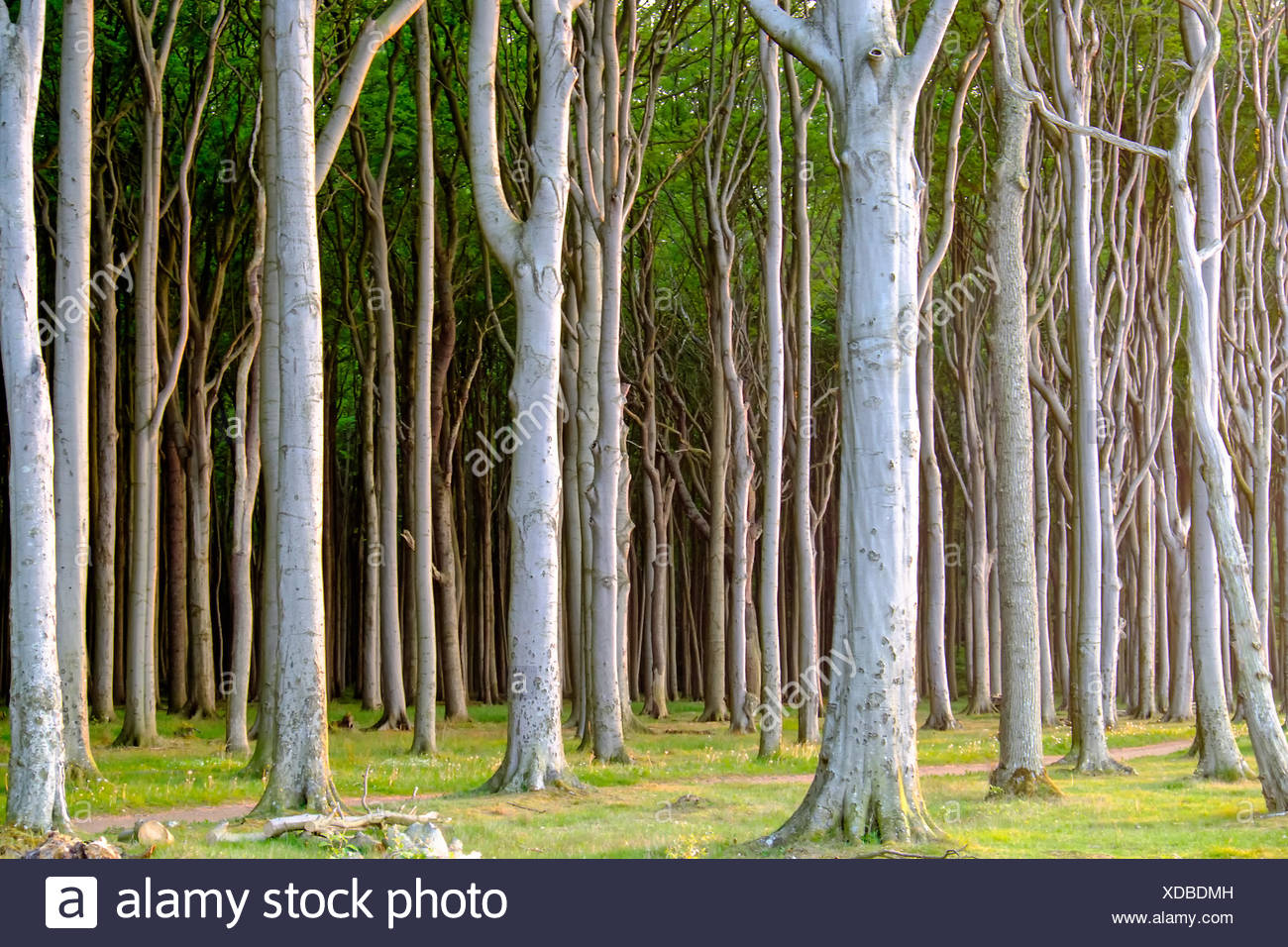 Haunted beech tree forest - Stock Image