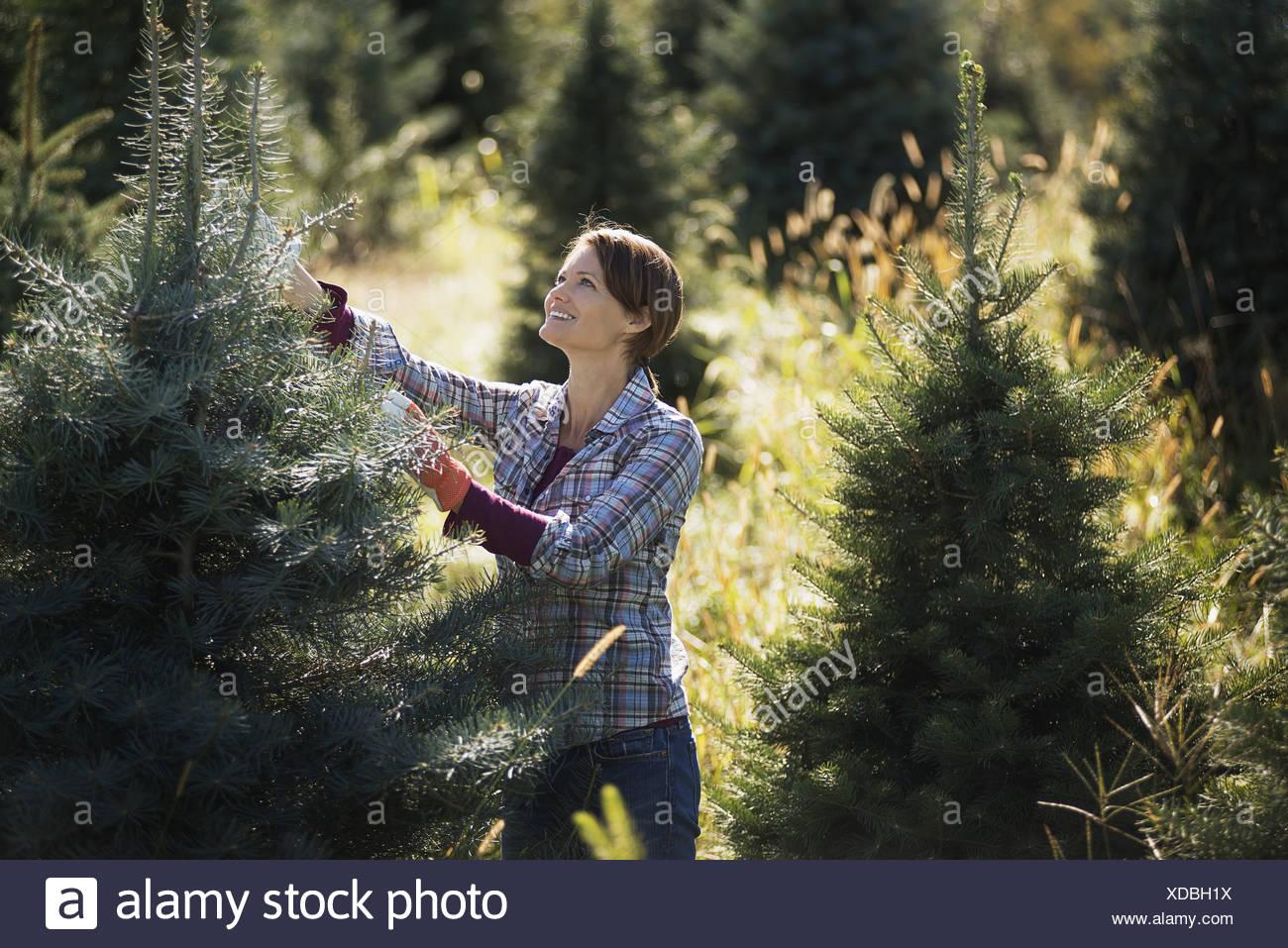 christmas tree farms york