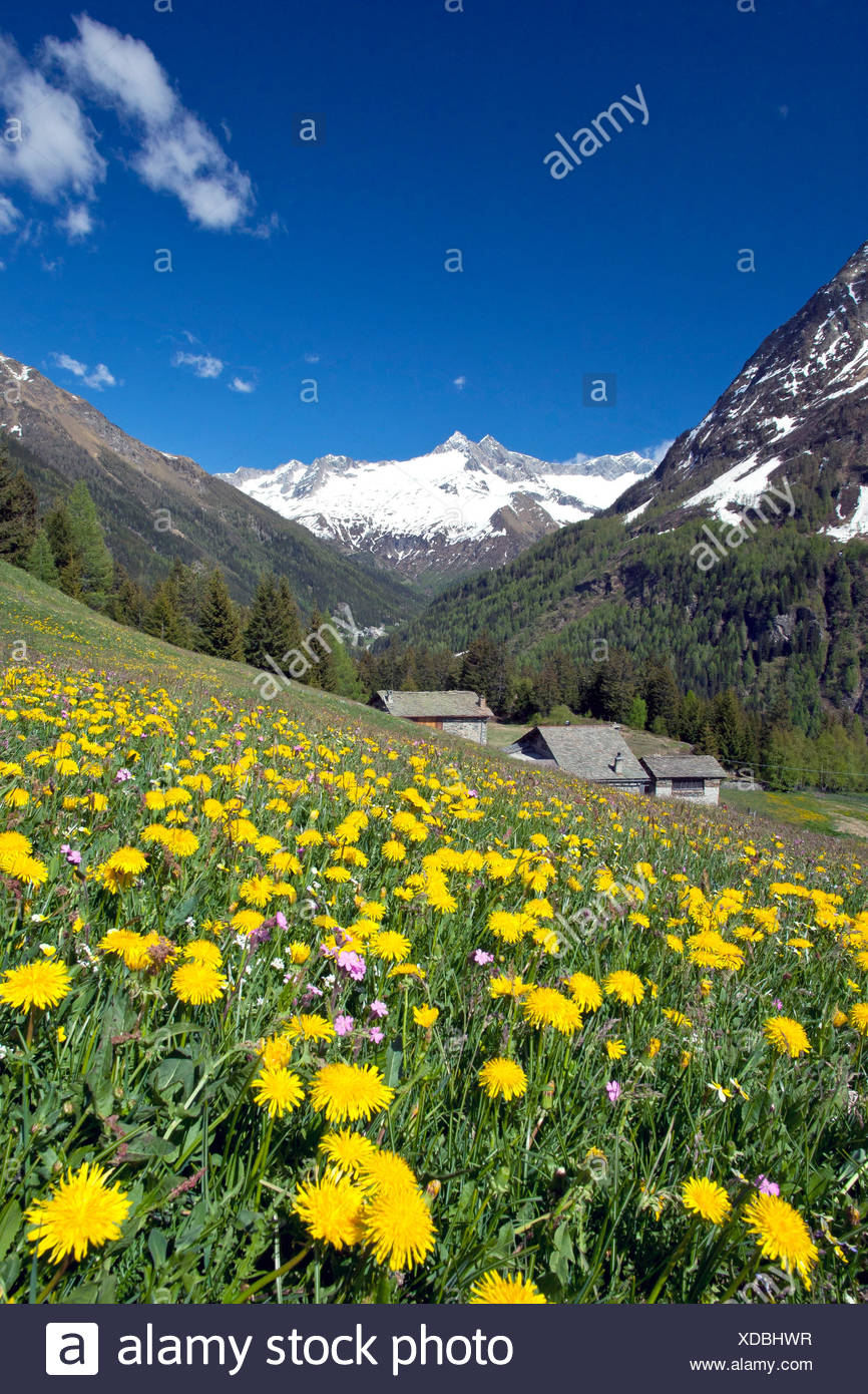 The bright yellow of the dandelion flowers contrasting with the snow of the peak Vazzeda in Valmalenco Lombardy Italy Europe - Stock Image