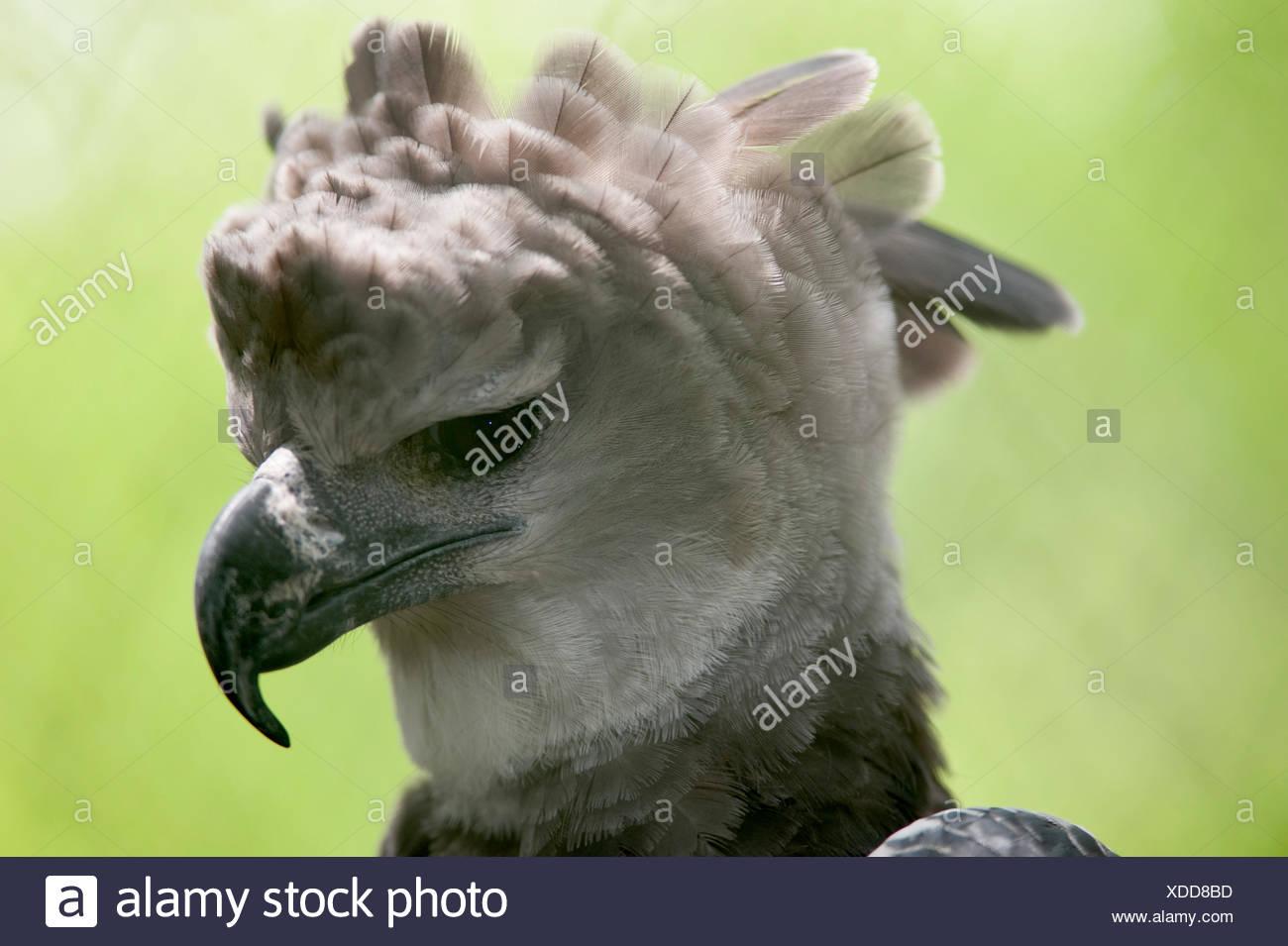 harpy eagle harpia harpyja panama central america captive