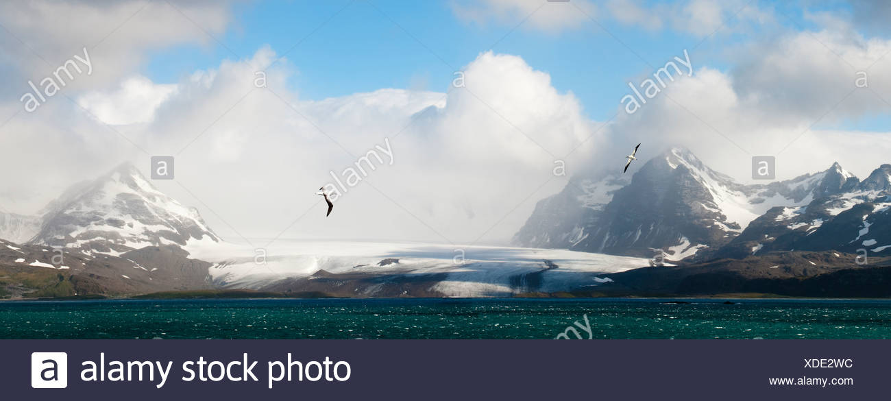 Wandering Albatross flying over the Bay of Isles with Salisbury Plain glacier in the background. South Georgia, South Atlantic. - Stock Image