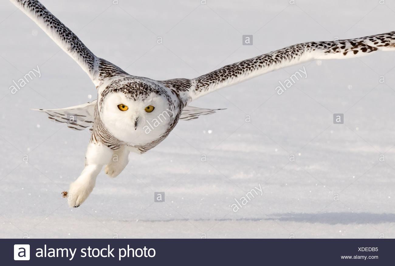 Snowy Owl taking off, Ottawa, Canada - Stock Image