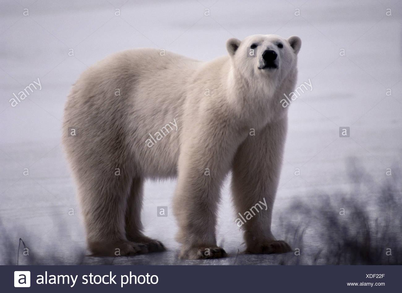 Polar bear, Canada - Stock Image