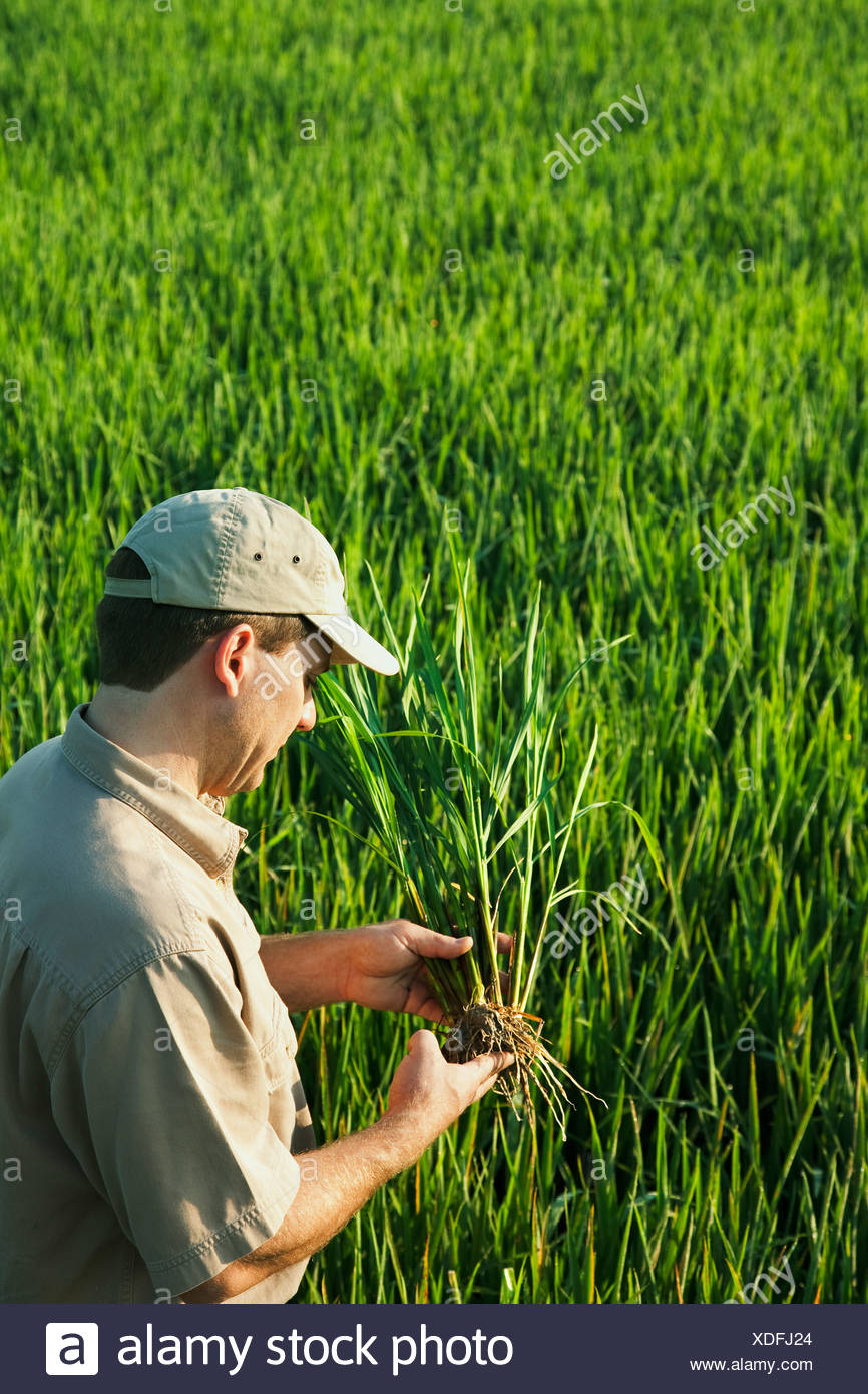 Agriculture - A crop consultant in the field inspects a mid growth rice plant at the early head formation stage / Arkansas, USA. - Stock Image