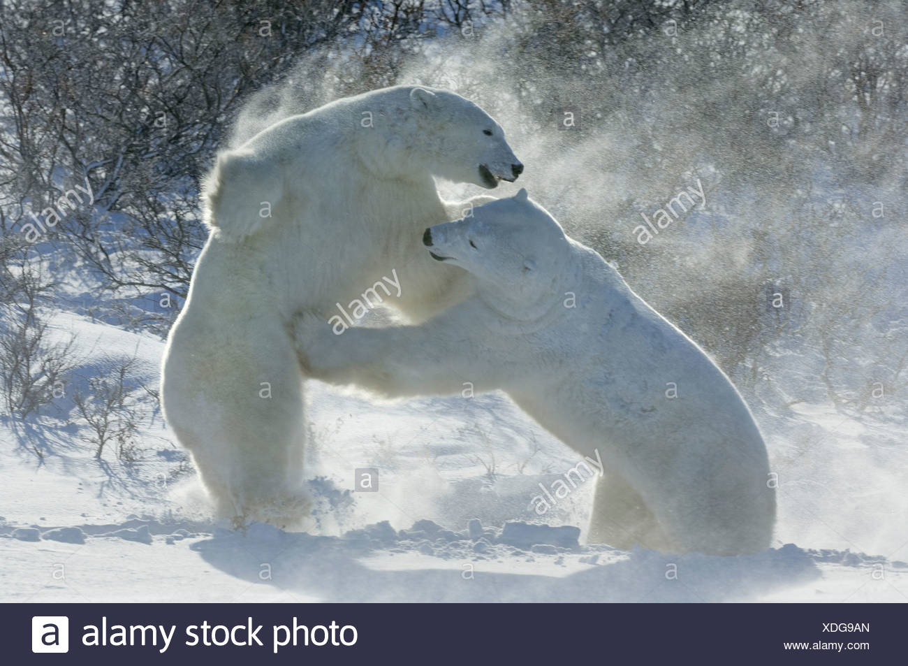 Polar bears in the wild A powerful predator and a vulnerable or potentially endangered species Two animals wrestling each other - Stock Image