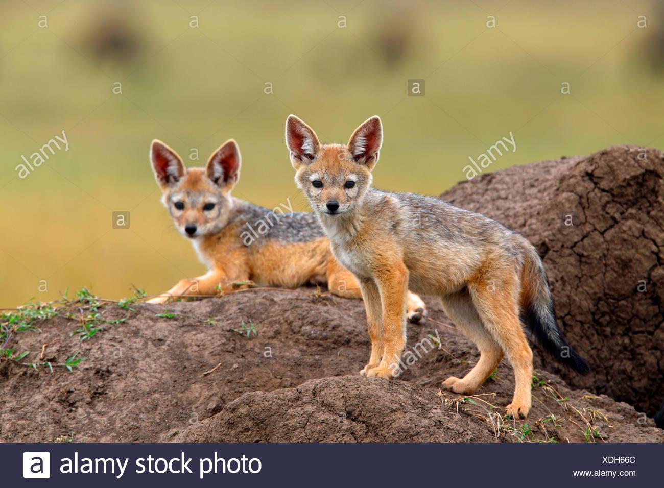 black-backed jackal (Canis mesomelas), two cubs at the den, Kenya, Masai Mara National Park - Stock Image