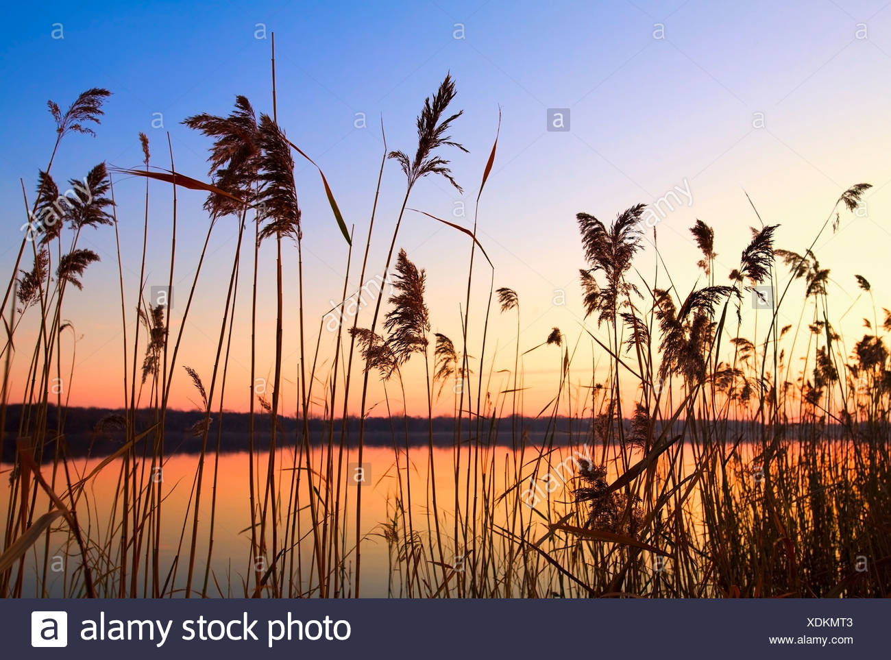 Willmar, Minnesota, United States Of America;; Tall Grass Along The Shoreline At Sunset - Stock Image