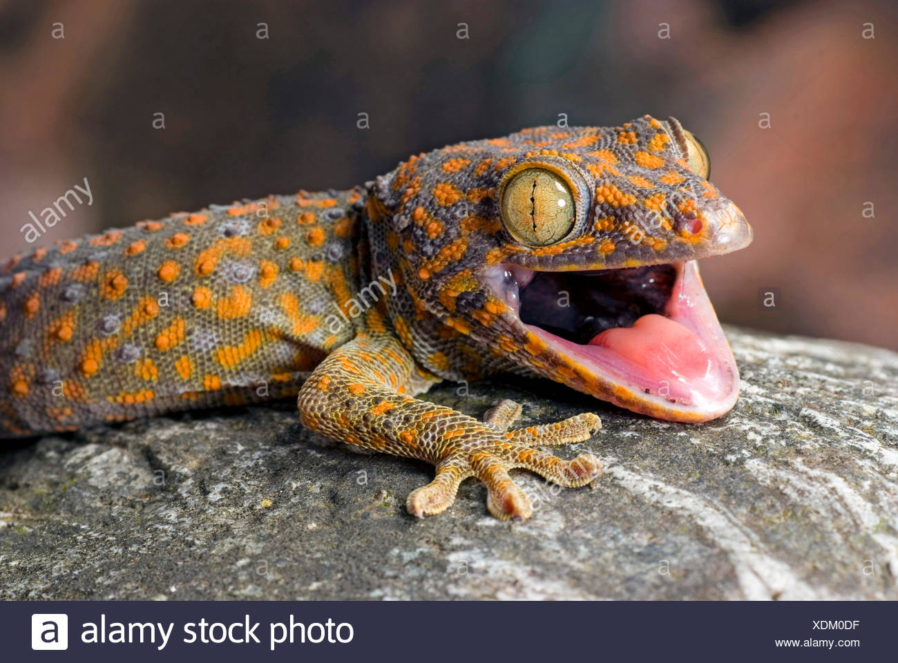 tokay gecko tokee gekko gecko gecko gecko portrait with mouth