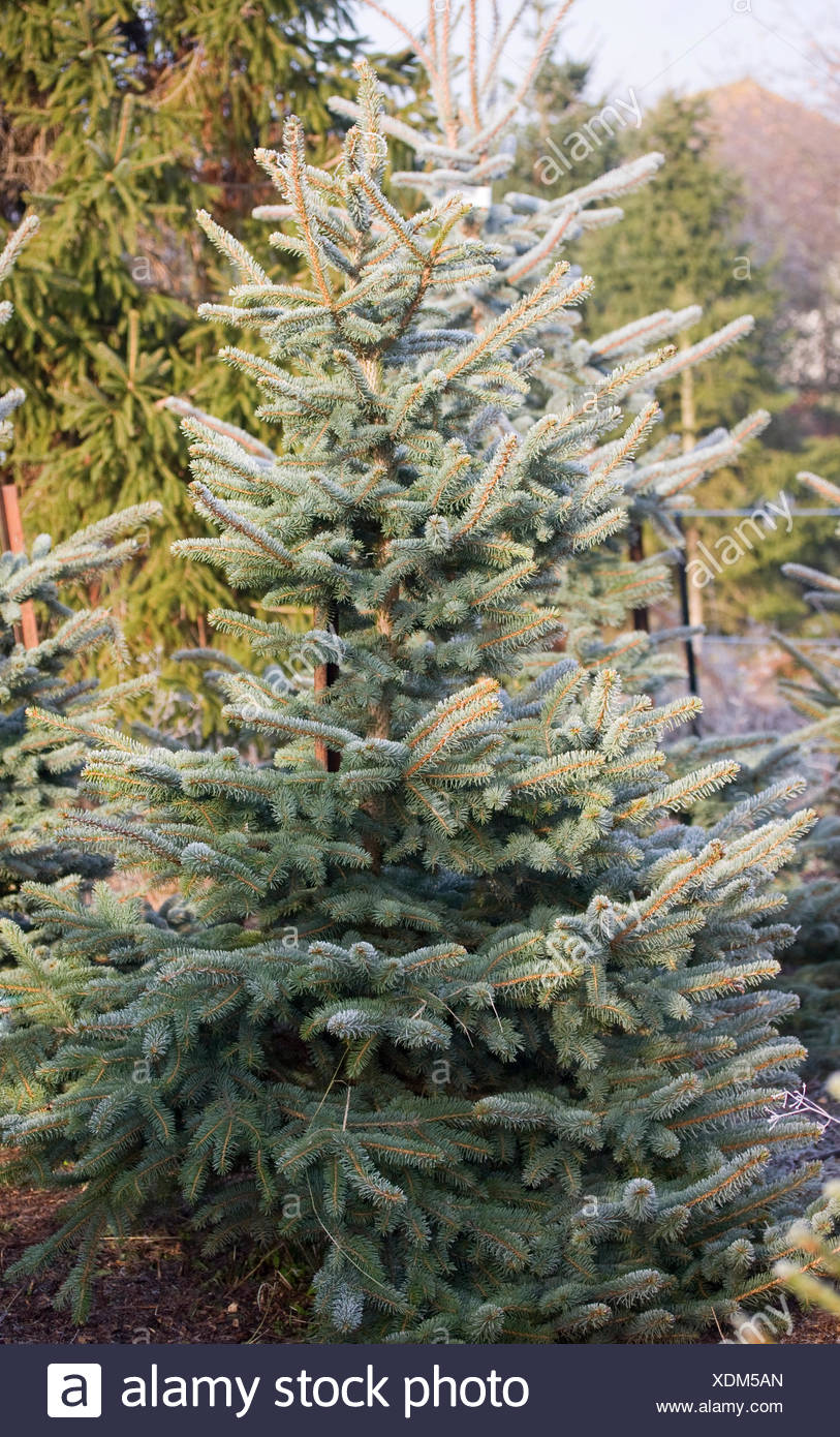 picea pungens glauca blue spruce the christmas tree farm hawkwell - Christmas Tree Farm Colorado