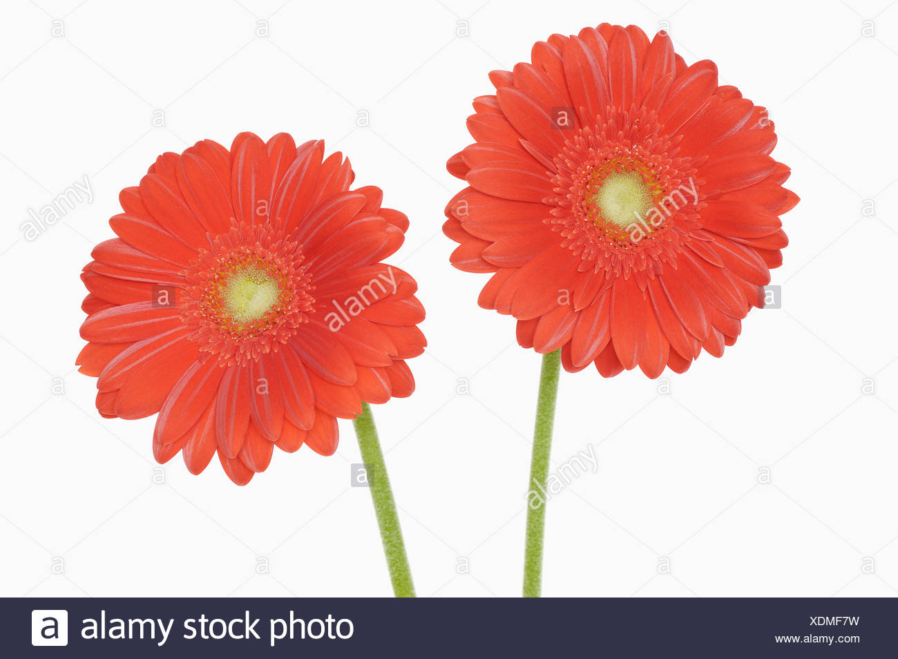 Gerbera flowers, close-up - Stock Image
