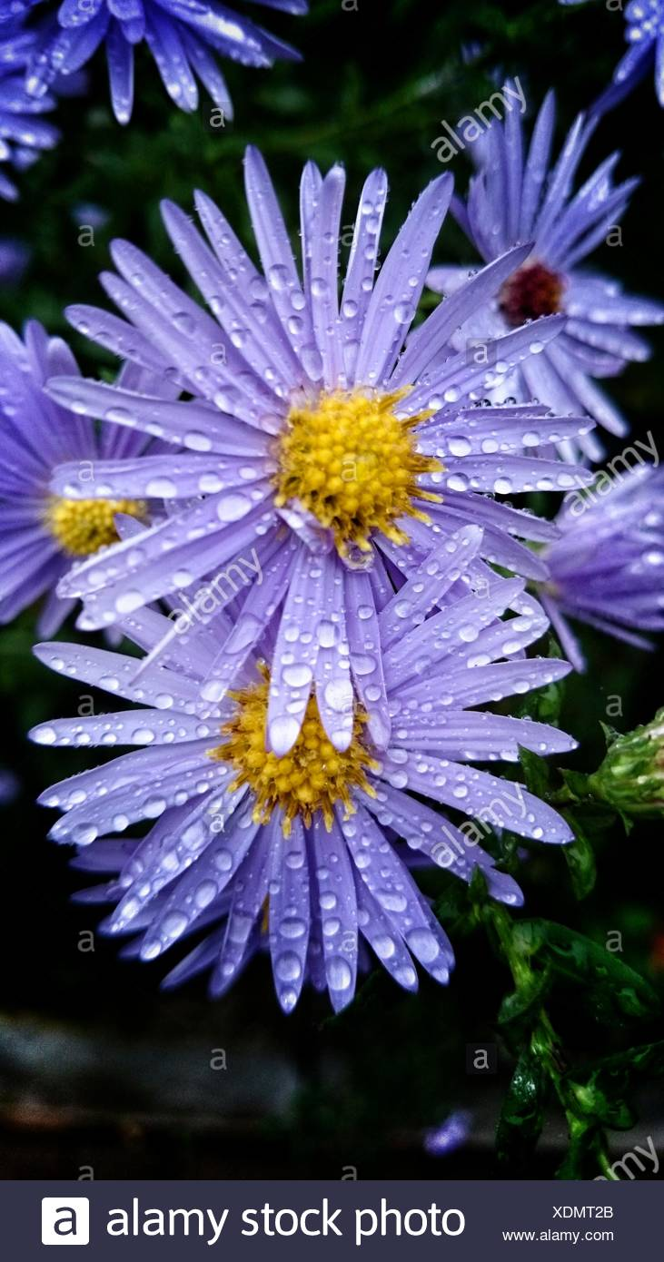 Close up of water drops on purple daisy flowers stock photo close up of water drops on purple daisy flowers izmirmasajfo