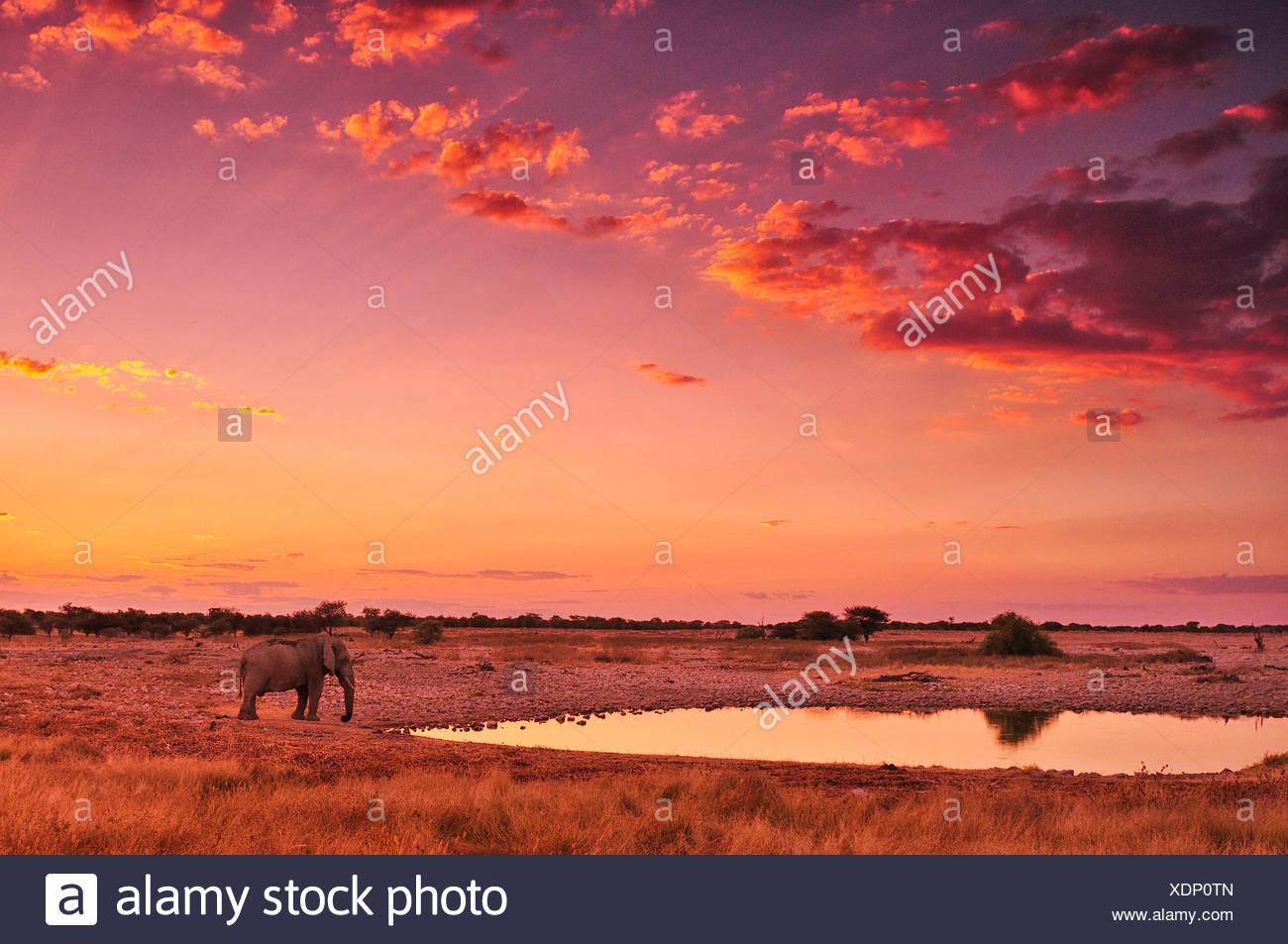 Africa, Namibia, Etosha, National Park, sunset, elephant, animal, waterhole, safari, animal, wildlife, red, Loxodonta african, a - Stock Image