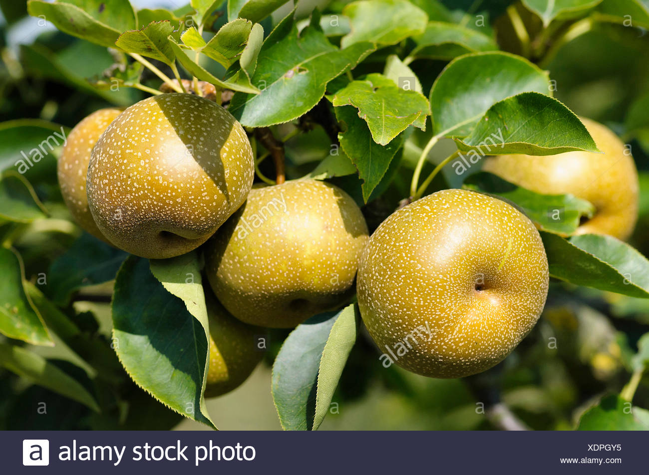 Where are asian brown pears grown in the usa