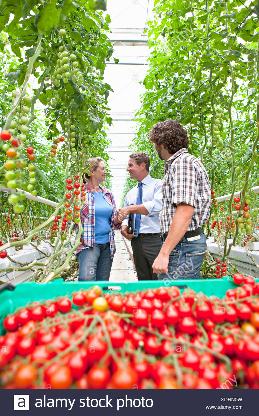 Businessman and grower handshaking behind ripe red tomatoes in greenhouse - Stock Image