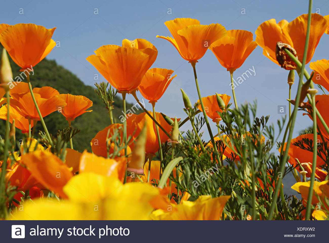 Beautiful flowers in orange and yellow colour srinagar jammu beautiful flowers in orange and yellow colour srinagar jammu kashmir india izmirmasajfo