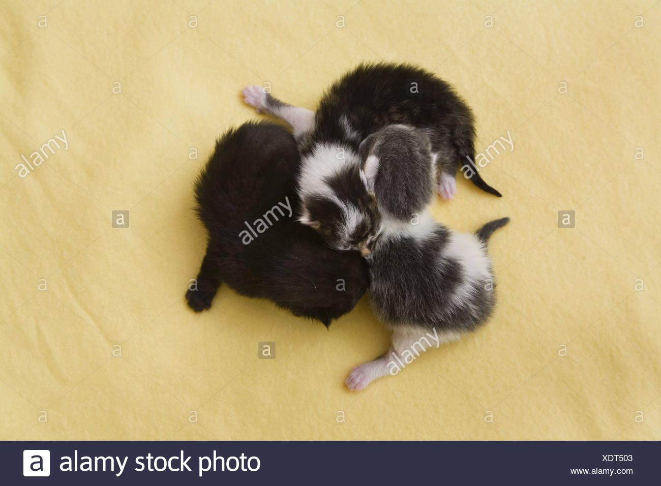 domestic cat, house cat (Felis silvestris f. catus), three newborn domestic cats cuddling - Stock Image