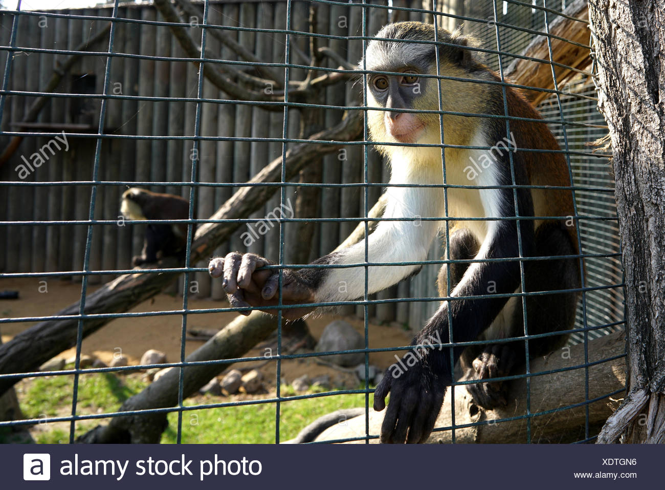 imprisoned monkey in a zoo - Stock Image