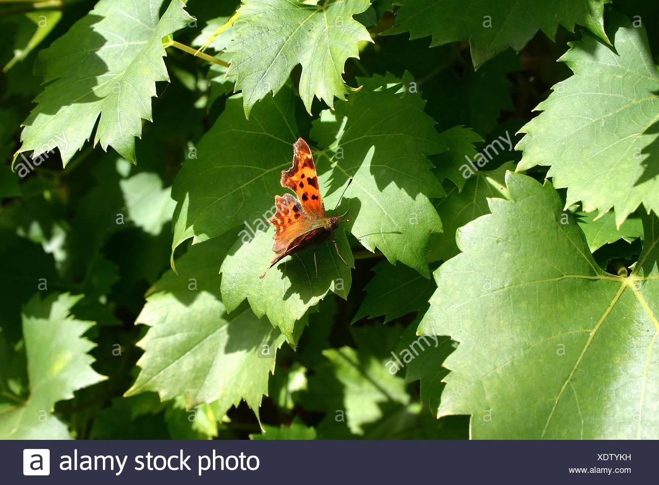 Butterfly Moth Butterfly Moth Groer Fuchs Wilder Wein Oranger With Groer