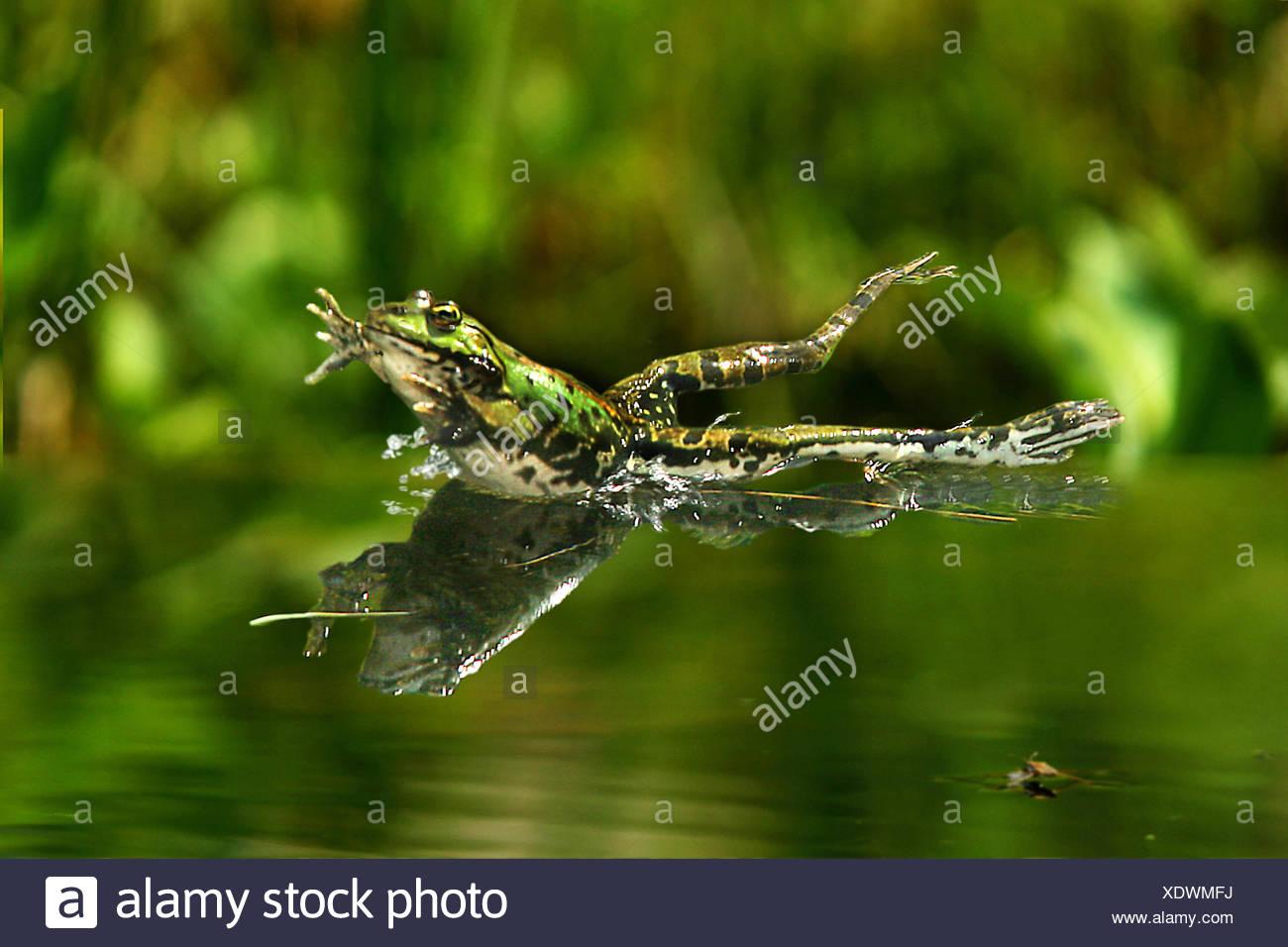 European edible frog, common edible frog (Rana kl. esculenta, Rana esculenta, Pelophylax esculentus), jumping into water, Germany - Stock Image