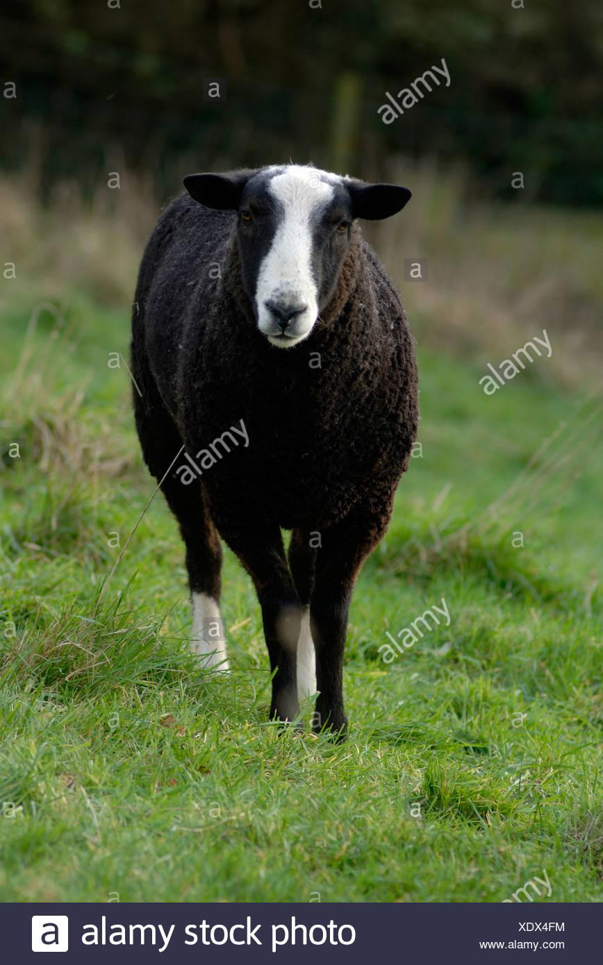 British Zwartble ram with two white socks Devon - Stock Image