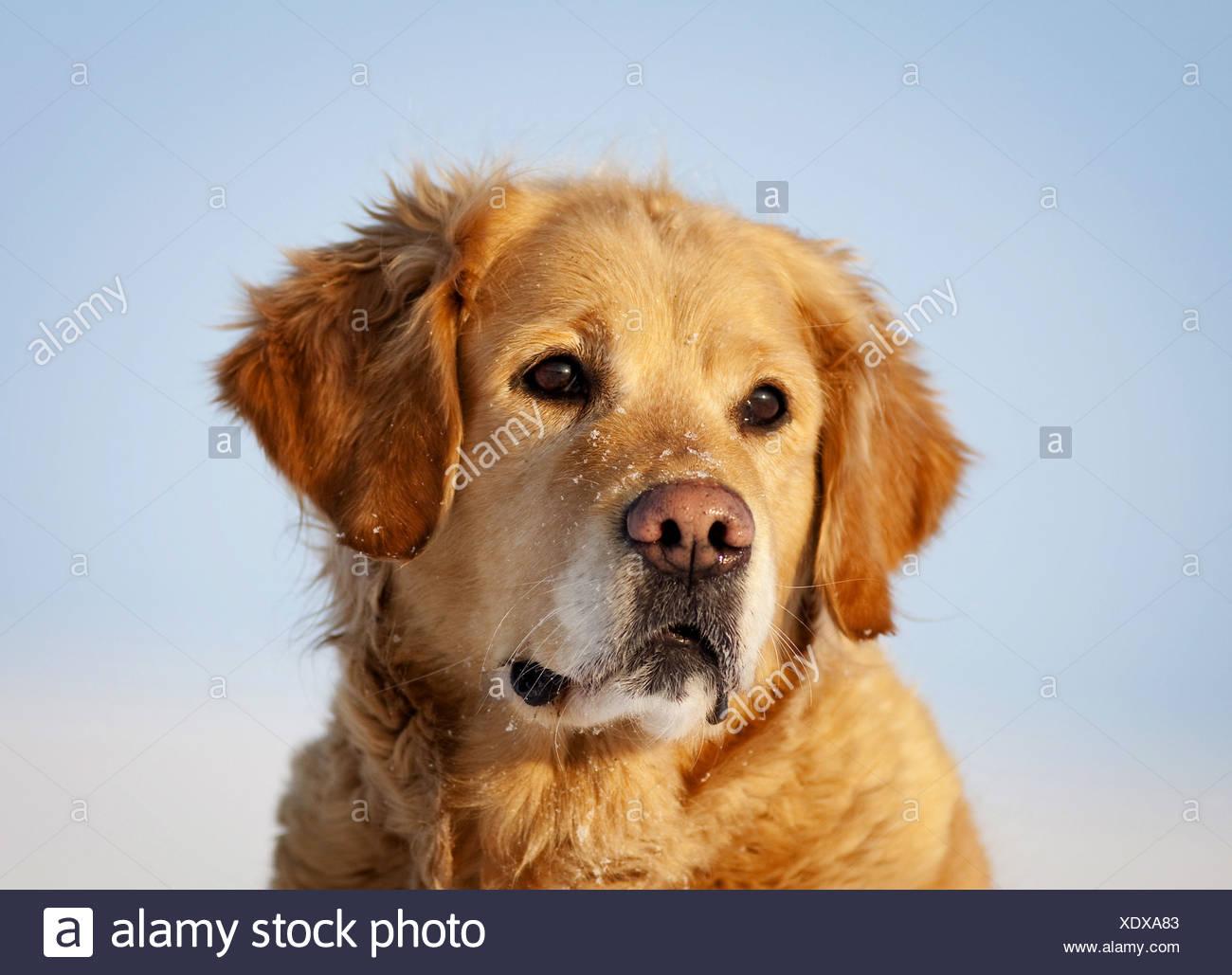 Golden Retriever (Canis lupus f. familiaris), portrait in the snow ...