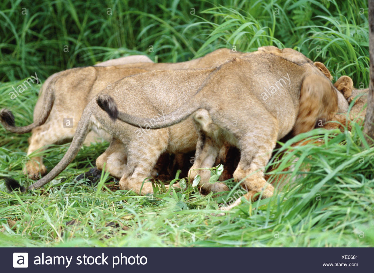 Asiatische Lions lions panthera leo persica stock photos lions panthera